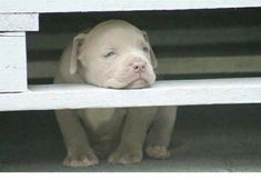 """I am sooo bored. Got any trouble I can get into?"" #PitBullPictures"