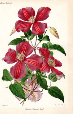 Clematis, Flower, Botanical Print, Watercolor, painting