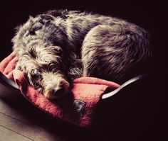 Stop what you're doing and look at this Irish Wolfhound sleeping.