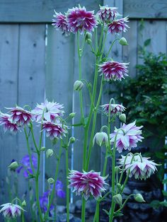 Dahlia, my tubers have started to sprout. My Flower, Flower Power, Beautiful Flowers, Blue Dahlia, Vintage Gardening, Farmhouse Garden, English Country Gardens, Welcome To The Jungle, Landscaping Plants