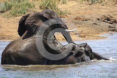 Photo about Two Elephants fighting on the Runde River at Gonarezhou - Zimbabwe. Image of habitat, natural, body - 47812174 Elephants Playing, Play Fighting, Zimbabwe, Habitats, Southern, Africa, River, Stock Photos, Nature