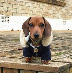 Este sabe que a natureza fez dele cachorro quente, portanto não tem a menor intenção de passar frio. | 15 cachorros que cansaram de ser salsichas