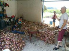 """La cipolla di Alife, un presidio Slow Food grazie allintuizione di Antonietta Melillo: """"Per essere ricchi, coltivate la terra"""""""