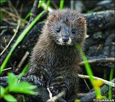 European Mink - Endangered Species