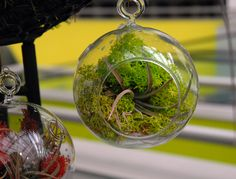 Air Plants in glass balls