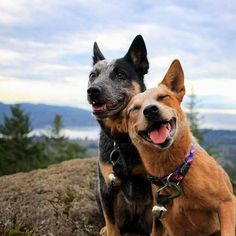 dog adventure shirt You are in the right place about Dogs and puppies kiss Here we offer you the most beautiful pictures about the Dogs and puppies labradoodle yo. Perro Blue Heeler, Blue Heelers, I Love Dogs, Cute Dogs, Aussie Cattle Dog, Saarloos, Hiking Dogs, Dog Rules, Dog Photography