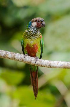 Birds Parrots Maroon-faced Parakeet (Pyrrhura leucotis)