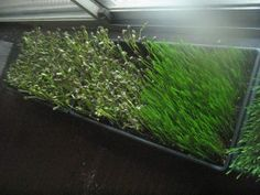How to grow sprouts huh a wheatgrass shot sounds like it'd be good for starting the day. I'd like to try this.