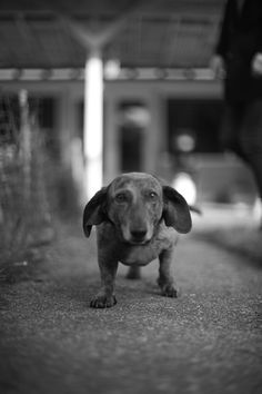 Old dachshund. Can't believe my baby is going to be 16!  It's been a good run old boy.