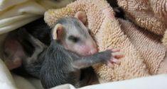 Baby Opossum, Cute Dogs, Cute Babies, Woodland Creatures, Zoology, Cute Baby Animals, Shih Tzu, Pet Birds, Kawaii