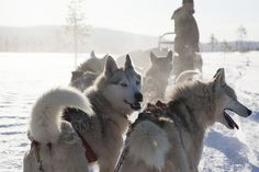 Husky safari in Lapland, Finland by Visit Finland, via Flickr.  Cabins and Activities in Saariselkä http://www.saariselka.com