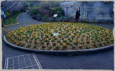 Pansy bed in the Royal Botanical gardens in Sydney