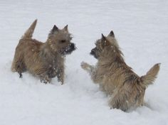 Cairns being frisky in the snow. Cairn Terriers, Terrier Breeds, Terrier Puppies, Cute Dog Photos, Puppy Pictures, Puppy Pics, Norwich Terrier, Fox Dog, Dog Cat