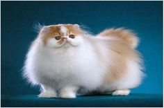 Persian cat   #cat #classified #sale #buy   see more at : http://www.openads.biz/persian-cat-for-sale/
