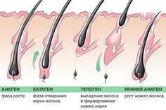 На протяжении всей жизни из каждого фолликула может вырасти 20-30 волос. Каждый новый волос может расти в течение 2-7 лет и достичь более одного метра в длину до того, как он вступит в стадию «отдыха», которая длится 3 месяца.