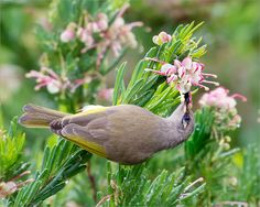 The Brown Honeyeater - Lichmera indistinncta, belongs to the honeyeaters, a group of birds found mainly in Australia and New Guinea which have highly developed brush-tipped tongues adapted for nectar feeding. Photo by Julian Robinson.