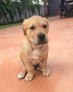 Pitbull / Golden retriever mix! (10 weeks old) #Herculesthegoldenpit  (weighing 20.2 lbs)