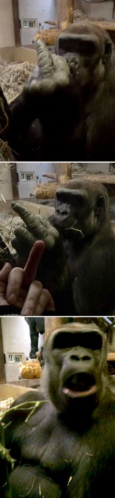 A Gorilla Flipped Me Off, So I Flipped Him Off In Return And He Was Very Offended