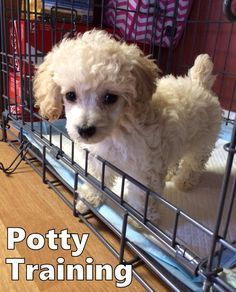 Poodle Puppies. How To Potty Train A Poodle Puppy. Poodle House Training Tips. Housebreaking Poodle Puppies Fast & Easy. Share this Pin with anyone needing to potty train a Poodle Puppy. Click on this link to watch our FREE world-famous video at ModernPuppies.com #TipsForDogObedienceTraining #poodlepuppy