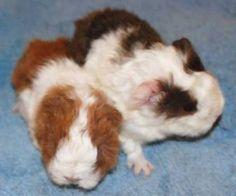 Image result for textile guinea pig