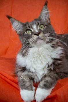 A Zwollywood Cat 29 December, Maine Coon, Diesel, Cats, Animals, Diesel Fuel, Gatos, Animales, Kitty Cats
