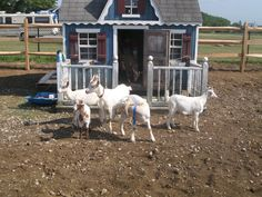 The goats at Davis Peach Farm in Wading River proudly showing off their house