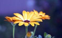WALLPAPERS HD: Rudbeckia Flowers