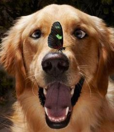 A funny golden retriever staring at a butterfly on her nose.  These two animals are having a moment together =) I hope the golden retriever doesn't stay crossed eyed forever!