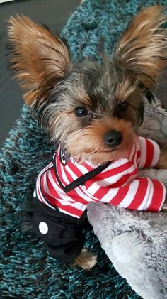 cute yorkie in a sailor suit terrier Cute Puppies, Cute Dogs, Poodle Puppies, Top Dog Breeds, Yorkshire Terrier Puppies, Yorkie Puppy, Lap Dogs, Gif Animé, Tier Fotos