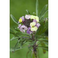 I have just purchased Erysimum 'Plant World Lemon' from Sarah Raven - https://www.sarahraven.com/flowers/plants/container_plants/erysimum_plant_world_lemon.htm