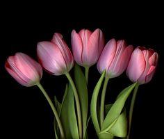 BELLISSIMI… Tulips by Magda Indigo - Photo 223934703 / 500px