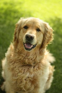 Golden Retrievers always make me smile. :)