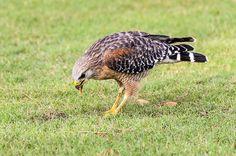 Prey Captured: Eating a Mole Cricket by camflan, via Flickr