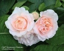 Clair Renaissance vill stå ljust. Remonterande doftar underbart.Den danske förädlaren Poulsen arbetade fram en rad rosor mot slutet av 1900-talet som fick gruppnamnet Renaissancerosor. Målsättningen var att skapa buskrosor som förenar de gammaldags rosornas vackra blomform och starka doft med de bästa av de moderna rosornas goda härdighet och motståndskraft mot sjukdomar. Delvis har de tillkommit som ett nordiskt svar på de engelska Austinrosorna.Härdiga till Zon 3 - en del lär ha klarat…