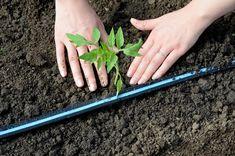 De plantarea la distanţă corectă a răsadurilor de legume depinde atât buna dezvoltare a plantelor, cât şi uşurinţa cu care se vor face lucrările de întreţinere. Paradis, Salvia, Raw Vegan, Asparagus, Green Beans, Carrots, Solar, Vegetables, Spring