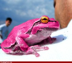 pink frogs | Pink Frog hi-res pictures