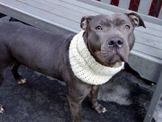 SAFE 3/16/15 --- Manhattan Center   CAMILA - A1029462  *** AVERAGE HOME ***  FEMALE, GRAY, PIT BULL MIX, 4 yrs STRAY - STRAY WAIT, NO HOLD Reason STRAY  Intake condition EXAM REQ Intake Date 03/05/2015   https://www.facebook.com/photo.php?fbid=975344042478475