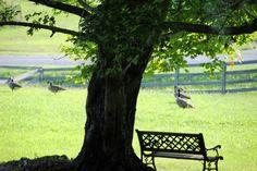 The Geese of Bluebird Farm, Virginia