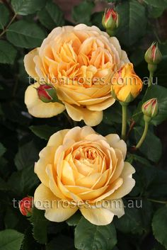 Golden Celebration - Very large deeply cupped flowers of rich golden yellow. A very good shrub with ideal rounded habit of growth, dark glossy green foliage. Exceptional fragrance. 1.5m tall.