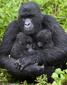 Cuddliest twins in the jungle: Young gorillas get a hug from Mum after a busy day exploring the forest
