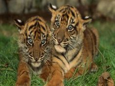 Dos lindos cachorros de tigre