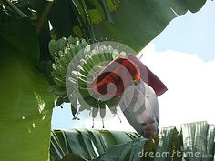 Banana Flowers And Young Banana On A Tree Stock Photo - Image of frontyard, delicious: 73027190 Banana Flower, Banana Fruit, Green Banana, Stock Photos, Flowers, Royal Icing Flowers, Flower, Florals, Floral