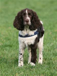 Image Search Results for springer spaniel Springer Spaniel Puppies, English Springer Spaniel, Spaniel Dog, Spaniels, Dog Bucket List, Field Spaniel, Uses For Coffee Grounds, Hunting Dogs, Dog Photos