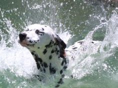 Baby Animals, Cute Animals, Animal Babies, Dalmatian Dogs, The Perfect Dog, Cute Friends, Love Pet, Winter Scenes, Large Dogs