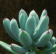 """Senecio serpens -   """"Blue Chalksticks"""" Tinier, tidier """"Blue Fingers""""! Ground-hugging & ever-blue, this semi-trailing groundcover is in some ways an improvement"""