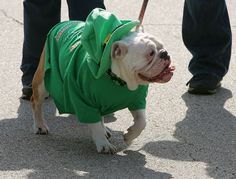 Dog out for a walk in his St. Patrick's Day Costume