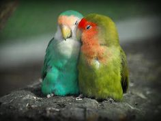 love birds. mate for life and very affectionate to each other