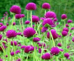 Gomphrena Audray Purple, available August through October