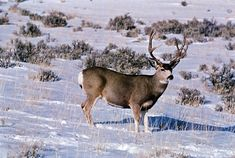 Mule Deer, Montana and Wyoming