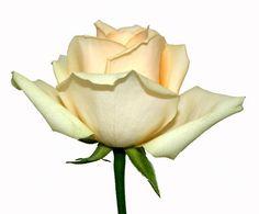 Peach_Avalanche_rose_2.jpg (550×456)